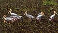 Painted Storks (24394903435).jpg