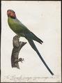 Palaeornis longicaudus - 1796-1808 - Print - Iconographia Zoologica - Special Collections University of Amsterdam - UBA01 IZ18500071.tif