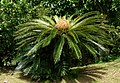 Palma chica (Cyca revoluta) - Flickr - Alejandro Bayer (1).jpg