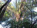 Palma real o Palma de gunzo - Attalea rostrata 02.jpg