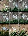 Pancratium zeylanicum flower opening 3x3.jpg