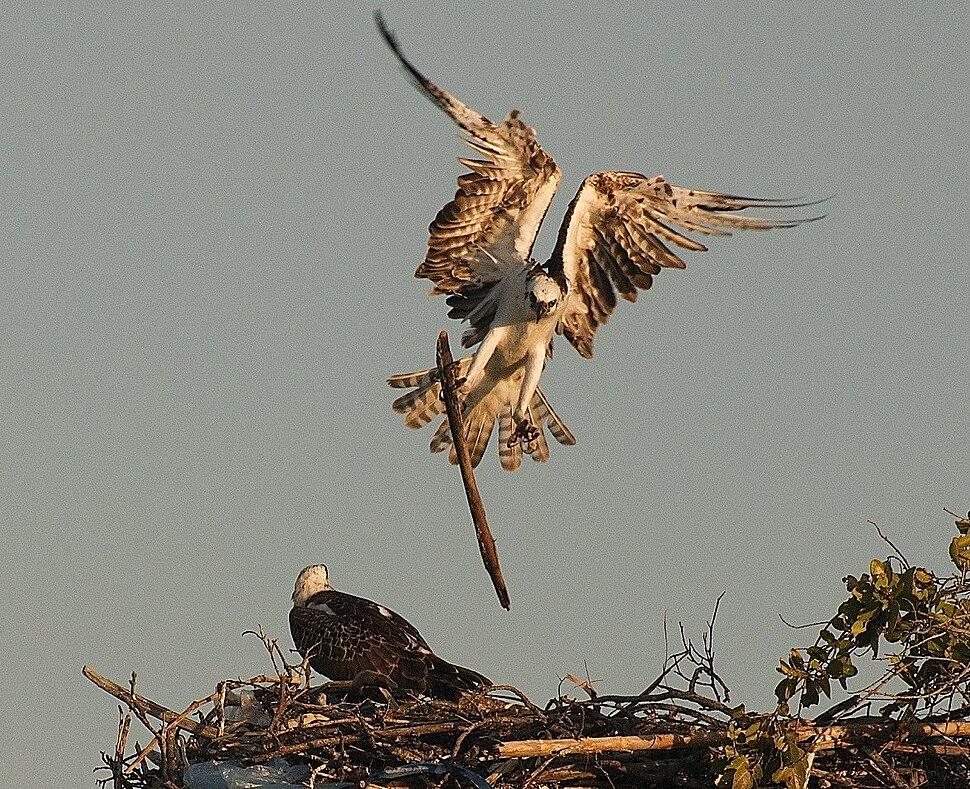 Pandion haliaetus -Belize -building nest-8