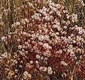 Panonski zvezdan - Tripolium pannonicum.jpg