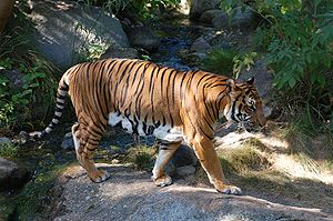 Indochinese tiger - Young Indochinese tiger