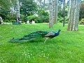 Paon dans le Parc Floral de Paris.jpg
