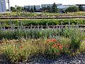 Papaver rhoeas + Echium vulgare sl1.jpg