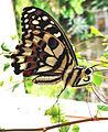 Papilio demoleus - swallowtail butterfly - 2.jpg