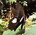 Papilio helenus - Red Helen nectering 02.JPG