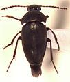 Paracatops antipoda.jpg