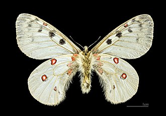 Parnassius phoebus - Image: Parnassius phoebus MHNT CUT 2013 3 6 Cervières (Hautes Alpes) male ventre