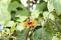 Passiflora Sunburst 1zz.jpg