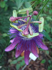 Passiflora loefgrenii (BG Zurich)-02