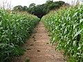 Path in tall crop - geograph.org.uk - 533446.jpg