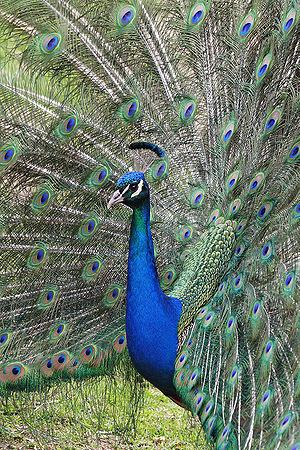Male Blue Peacock in Melbourne Zoo, Australia.