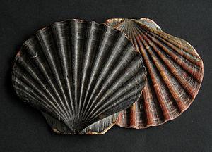 Pecten (genus) - Two beachworn upper valves of Pecten maximus from Wales