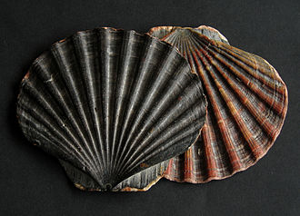 Pecten (bivalve) - Two beachworn upper valves of Pecten maximus from Wales