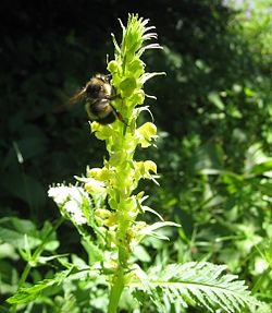 Pedicularis bracteosa with Bumblebee.jpg