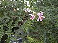 Pelargonium quercifolium 20070810-1349-190.jpg