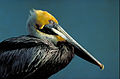 Pelecanus occidentalis Thomas G. Barnes.jpg