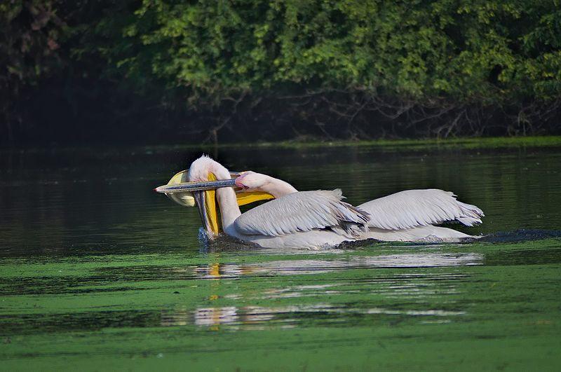 File:Pelicans at Bharatpur.jpg