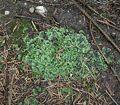 Pellia epiphylla6 ies.jpg