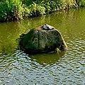 Pelodiscus sinensis on the rock in Ochiai park - 2.jpg