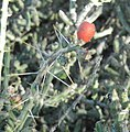 Pencil cholla, Saguaro National Park (Rincon Mountain District), Arizona (55bd1953-6f7f-453e-9768-c40db5b16ce0).jpg