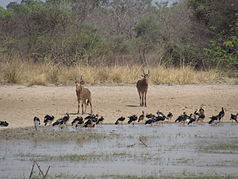 West Africa hartebeest and spotted geese at Mare Bali
