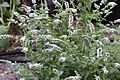 Peppermint Mentha × piperita IMG 7237.jpg