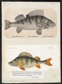 Perca fluviatilis - - Print - Iconographia Zoologica - Special Collections University of Amsterdam - UBA01 IZ12900063.tif