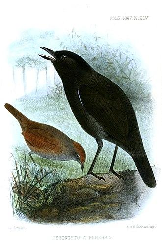 Sooty antbird - Image: Percnostola Funebris Smit