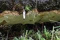 Perenniporia subacida (19439027311).jpg