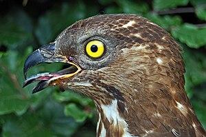European honey buzzard - Image: Pernis apivorus i 080515 w ad 080519