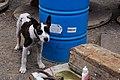 Perro en la Jolatería en Puerto Naos.jpg