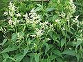 Persicaria wallichii01.jpg