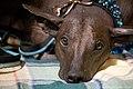 Peruvian hairless dog (7982316829).jpg
