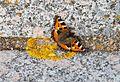 Petite Tortue Lichen.jpg