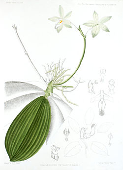 Phalaenopsis tetraspis. Ілюстрація з книги J. D. Hooker, «A Century of Indian Orchids» 1895