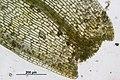 Phascum cuspidatum (b, 155112-483824) 0713.JPG