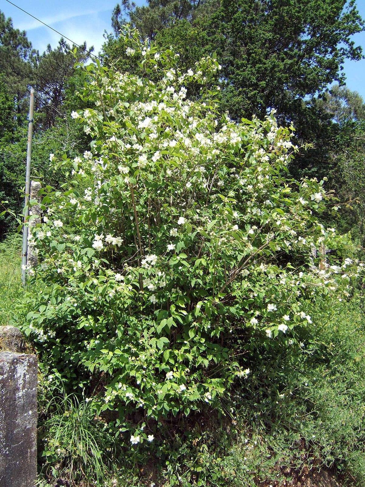 Philadelphus coronarius wikipedia la enciclopedia libre for Philadelphus coronarius