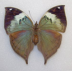 Robert Templeton - A Ceylon blue oakleaf butterfly Kallima philarchus from the Templeton Collection at the Ulster Museum