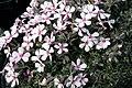 Phlox subulata Apple Blossom 5zz.jpg