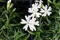 Phlox subulata Snowflake 2zz.jpg