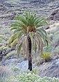Phoenix canariensis kz01.jpg
