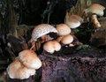 Pholiota squarrosa lowpx.jpg