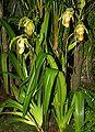 Phragmipedium × grande Orchi 038.jpg