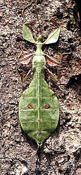 Leaf-mimic katydid - Image: Phyllium sp. (13613647174)