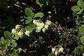 Phyllodoce aleutica and Vaccinium uliginosum.jpg