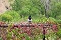 Pica hudsonia (black-billed magpie) (Ridgway, Colorado, USA) 3.jpg