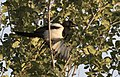 Pica pica - Eurasian Magpie 05.jpg